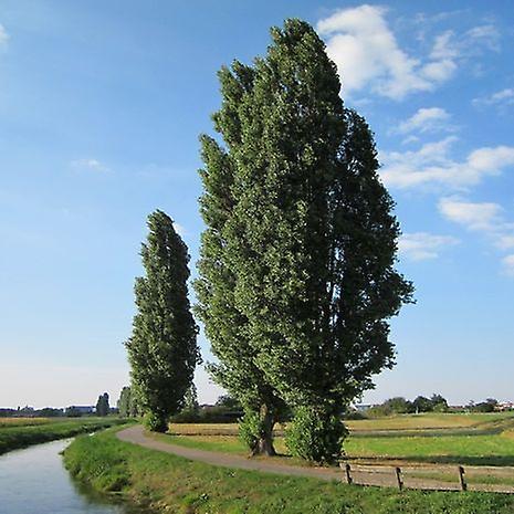 Populus nigra (Zwarte populier)-plant
