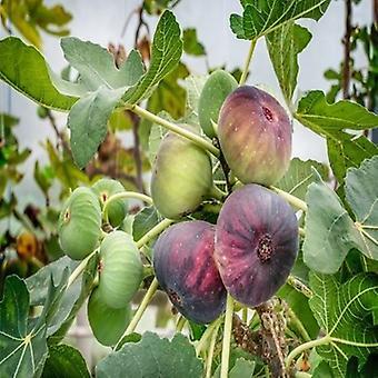 Ficus carica (Black fig) - Plant