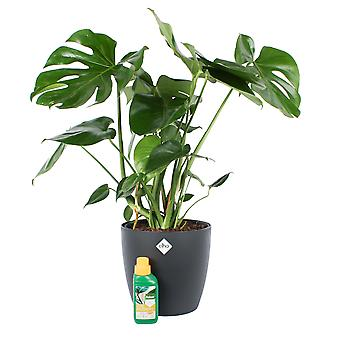 Indoor Plant from Botanicly – Window leaf plant – Height: 70 cm – Monstera Deliciosa