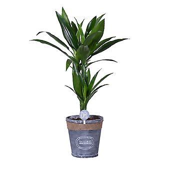 MoreLIPS® - Drakenbloedboom - in grijze Chipwood pot - hoogte 60-70 cm Dracaena deremensis Janet Craig