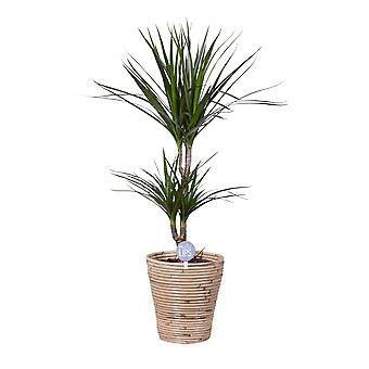 MoreLIPS® - Drakenbloedboom - luchtzuiverende kamerplant hoogte 70-80 cm - potdiameter: 20 cm - Dracaena marginata