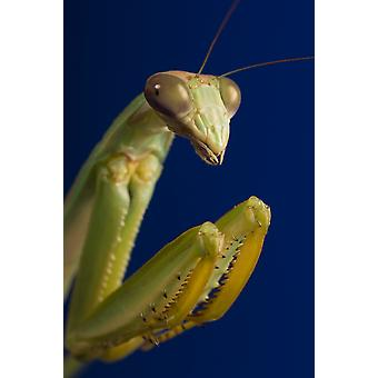 Closeup Of Praying Mantis PosterPrint