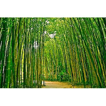 Tapete Mural Bamboo Forest