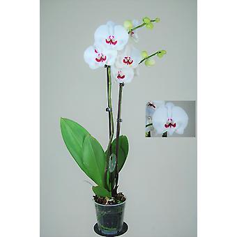 Orkidé fra Botanicly – Sommerfugl orkidé – Højde: 65 cm, 2 stængler – Phalaenopsis