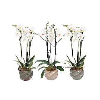 Orchidées de Botanicly – 3 × Orchidée papillon – Hauteur: 60 cm, 3 pousses – Phalaenopsis