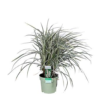 Elegrass - Siergras - Mondo Grass - Ophiopogon 'Silver Mist'