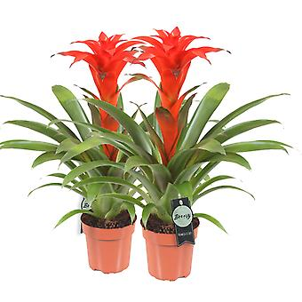 Breasy®  -  Bromeliad Guzmania Calypso - set 2 pieces