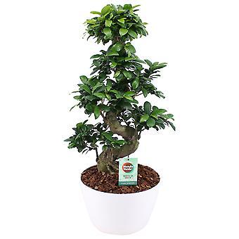 Bonsai ↕ 70 cm available with planter | Ficus Gin Seng