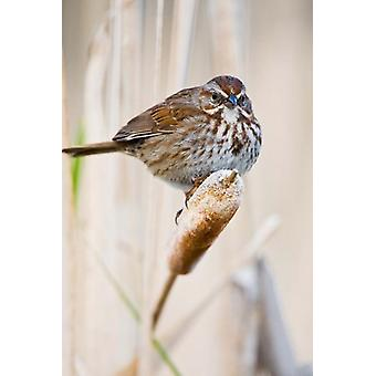 British Columbia Song Sparrow bird on cattail Poster Print by Larry Ditto