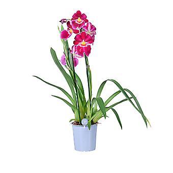 MoreLIPS® - Orchidee - Miltonia 2 tak - in kweekpot - hoogte 45-55 cm