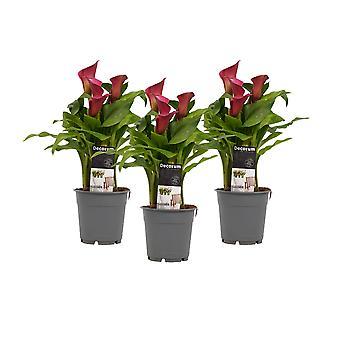 Blumen von Botanicly – 3 × Zimmerkalla – Höhe: 40 cm – Zantedeschia aethiopica