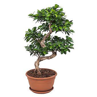 Bonsai de Botânica – Bonsai – Altura: 70 cm – Ficus Gin Seng