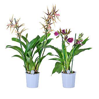 MoreLIPS® - Orchid-Set - 1x Brassia 'Shelob Tolkien' + 1x Zygopetalum 'Cher'  -  2 tak - in kweekpot - hoogte 50-60 cm