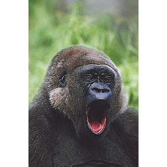 Västra Gorilla gäspningar Afrika PosterPrint