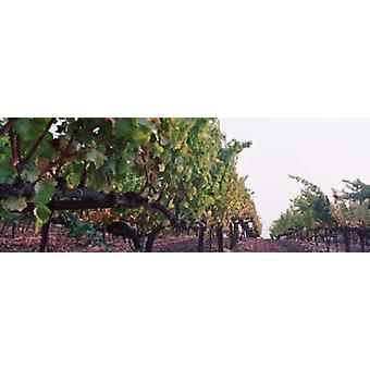 Crops in a vineyard Sonoma County California USA Poster Print