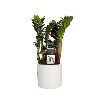 Planta de interior – Zamioculcas Zenzi en maceta blanca cilíndrica como un conjunto – Altura: 40 cm