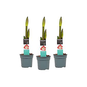 Blumen von Botanicly – 3 × Amaryllis – Höhe: 25 cm – Hippeastrum Exotic Striped