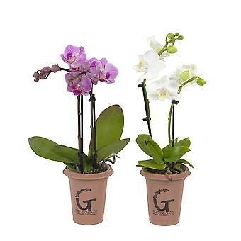 Choice of Green - Set of 2 The Gardians mini 2 tak rose - Orchidee The Gardians