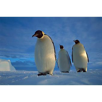 Emperor Penguin trio on sea ice in midnight twilight Ekstrom Ice Shelf Antarctica Poster Print by Tui De Roy