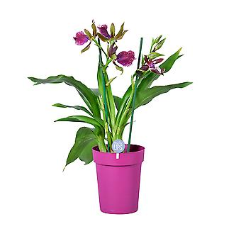 MoreLIPS® - Orchid - Zygopetalum 'Cher' - 2 tak - in paarse decopot - hoogte 45-55 cm