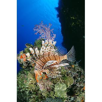 Fiji pesce scorpione (Pterois Volitans) e PosterPrint alcionario corallo (Dendronephthya Sp)