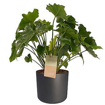 Kamerplant – Philodendron Shangri La incl. sierpot antraciet cilindrisch als set – Hoogte: 35 cm