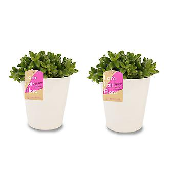 FAIR FLORA® Indoor Plant – Pickle Plantin different heights, optionally with decorative pot