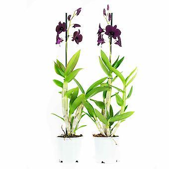 Dendrobium Sa-nook Tajlandia Czarny - komplet 2 sztuk - Wysokość 60 cm - Garnek średnicy 11
