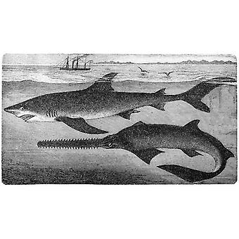 largetooth zaagvis (Pristis microdon) en blauwe haai (Prionace glauca). Grote ingelijste foto..