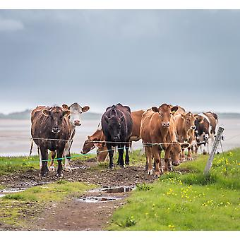 Portrait of cows grazing Iceland Poster Print