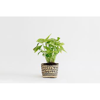 "4"" Arrowhead Plant +  Penan Basket"