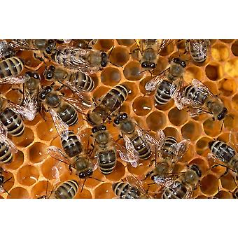 Honey Bee colony on honeycomb North America Poster Print by Konrad Wothe