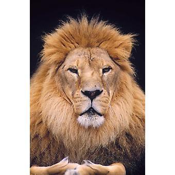 African Lion männlichen Portrait Washington Park Zoo Poster Print von Gerry Ellis