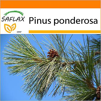 Saflax - Garden in the Bag - 20 seeds - Ponderosa Pine - Pin ponderosa - Pino giallo - Pino amarillo occidental - Goldkiefer