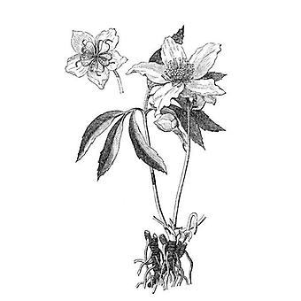 Róża bożonarodzeniowa, czarny hellebore (Helleborus niger). Duże zdjęcie w ramce. Ilustracja a.