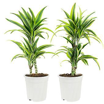Dracaena fragrans Lime Dragon drzewo - zestaw 2 sztuk - Wysokość 65 cm - Garnek średnicy 17 cm