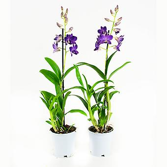 Orchideeën van Botanicly – 2 × Dendrobium Sa-Nook – Hoogte: 55 cm, 1 tak