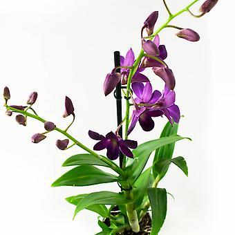 Orkidéer från Botaniskt - 2 × Dendrobium Sa-Nook - Höjd: 55 cm, 1 stam