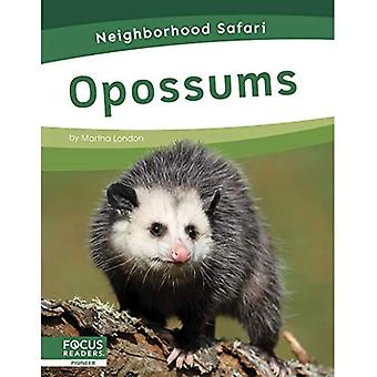 Neighborhood Safari: Opossums