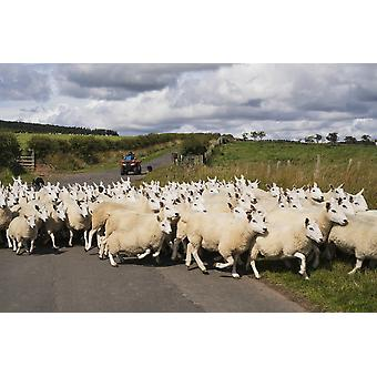 A flock of sheep cross a road Northumberland England PosterPrint