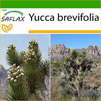 Saflax - 10 frø - med jord - Joshua Tree - Arbre de Josué - Albero di Giosuè - Árbol de Josué - Joshua Tree