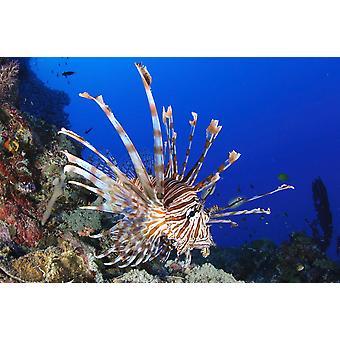 Lionfish koko kehon mieltä Salomonsaarten Juliste Tulosta