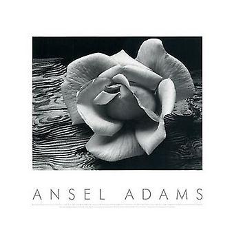Rose och drivved affisch Skriv av Ansel Adams (20 x 16)