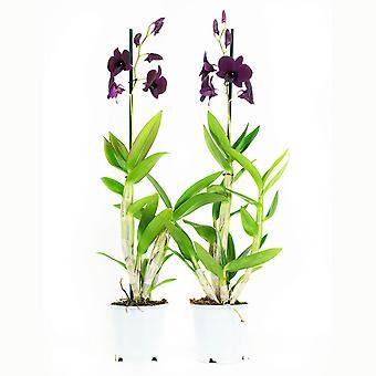 Orkidéer från Botaniskt - 2 × Dendrobium Sa-Nook - Höjd: 60 cm, 1 stam