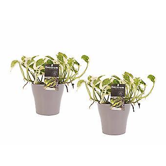 Plantes d'intérieur de Botanicly – 2 × Lierre du diable – Hauteur: 15 cm – Epipremnum pinatum NJoy