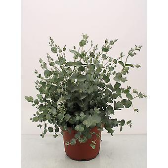 Eucalyptus shrub