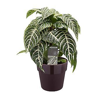 Glanzkölbchen ↕ 40 bis 40 cm verfügbar mit Übertopf | Aphelandra squarrosa