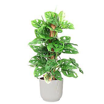 Zimmerpflanze – Monstera Monkey Mask in weißem ELHO Kunststoff Übertopf als Set – Höhe: 65 cm