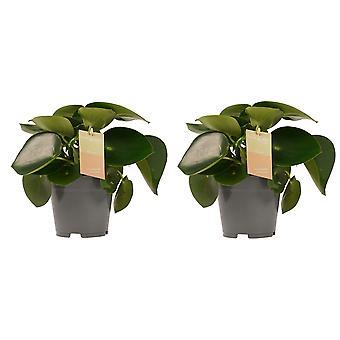 Decorum Duo Peperomia Raindrop Feel Green - Wysokość 35 - Garnek średnicy 14