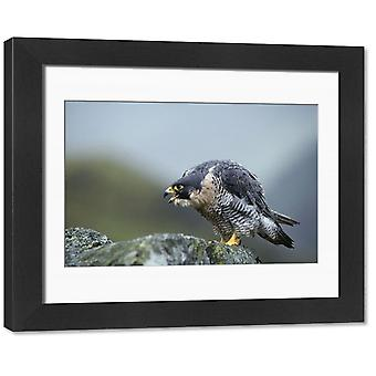 PC-81 Peregrine Falcon - calling. Framed Photo. PC-81 <br>Peregrine Falcon - calling <br>Falco.